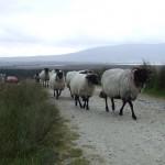 Achill Island sheep