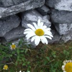 Wildflowers Inis Oirr