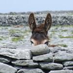 Donkey on Inis Oirr