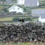 Crows on Inis Oirr