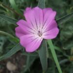 Wildflowers Inis Oirr