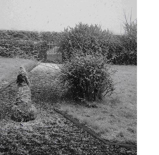 Wolf dog in the snow, Meath  2005