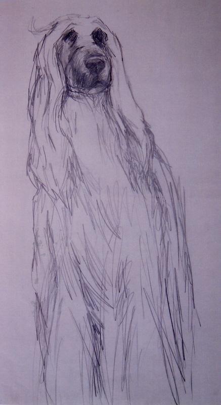 Afghan hound, pencil